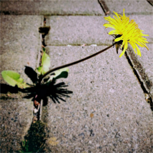 close up of dandelion groving between pavement cracks